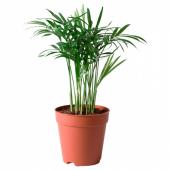 ХАМЕДОРЕЯ ЭЛЕГАНС Растение в горшке, Хамедорея изящная, 9 см