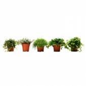 ГИМАЛАЙАМИКС Растение в горшке, различные растения, 12 см