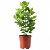 КЛУЗИЯ Растение в горшке, 24 см