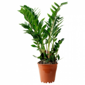 ЗАМИОКУЛКАС Растение в горшке, Замиокулкас, 17 см