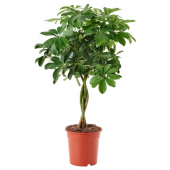 ШЕФФЛЕРА АРБОРИКОЛА Растение в горшке, Шефлера древесная, перекрученный стебель, 19 см
